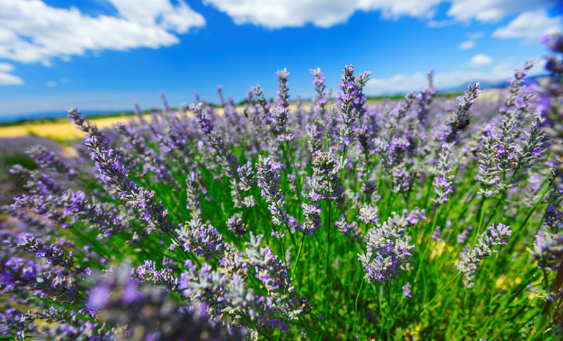 lavender growing in North Yorkshire